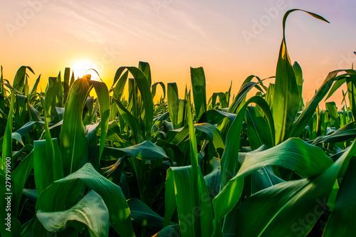 Fotografering sunrise over the corn field