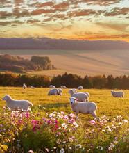 Sheep Grazing At Sunset, Beautiful Countryside