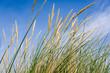 Dünengras / Strandhafer vor blauem Himmel