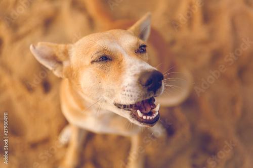 Portrait of a happy dog at sunrise/dawn at Marina beach Chennai, Tamilnadu, India Fototapete
