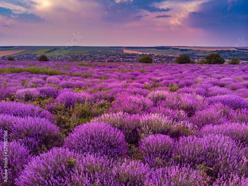 Fotobehang Snoeien Beautiful image of lavender field Summer sunset landscape. Aerial drone.