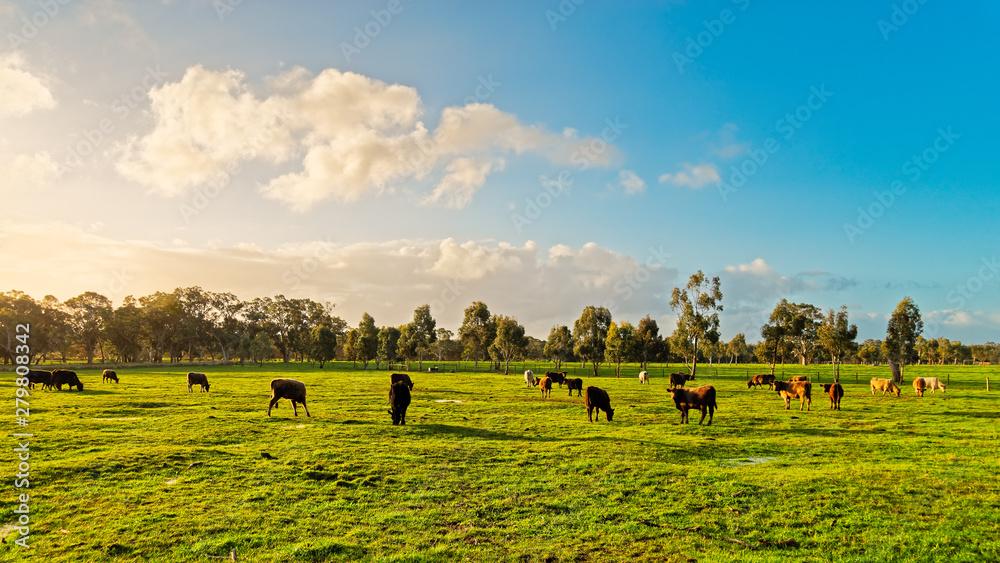 Fototapeta Australian grazing cows on a farm