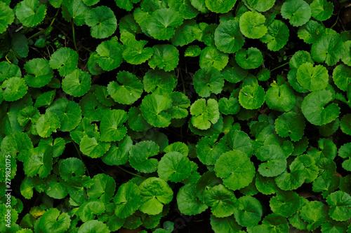 Fotomural  Centella Asiatica top view