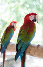 Beautiful Macaw Bird Color Red...