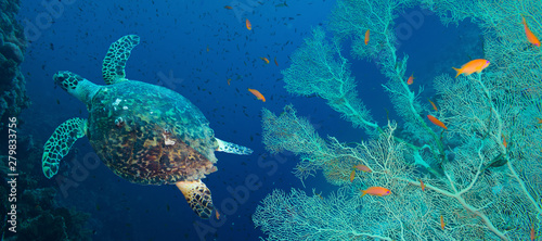 Foto auf AluDibond Riff Hawksbill sea turtle (Eretmochelys imbricata)