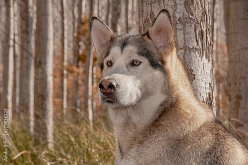 Photo perro gris lobo de raza alaskan malamute