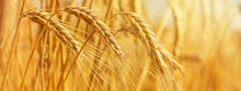Rural Landscape - Field Common Wheat (Triticum Aestivum) In The Rays Of The Summer Sun, Closeup With Space For Text