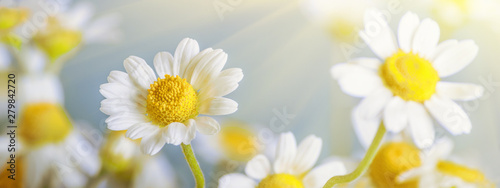 Сhamomile (Matricaria recutita), blooming spring flowers on gray background, closeup, selective focus, with space for text - 279842720