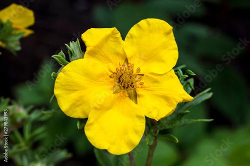 Fotografija  Potentilla 'Goldfinger' a yellow flowered plant known as cinquefoil