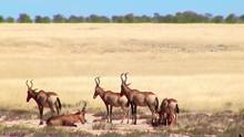 Herd Of Eland Namibia