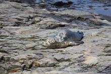 Baby Harbor Seal, Bar Harbor, ...