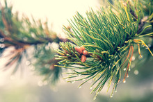 Baby Pine Cones Growing On The End Of Wet Pine Branch