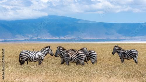 Foto Herd of zebras in the Ngorongoro caldera, panorama of the crater