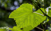 Grape Plant Leaf With Water Dr...