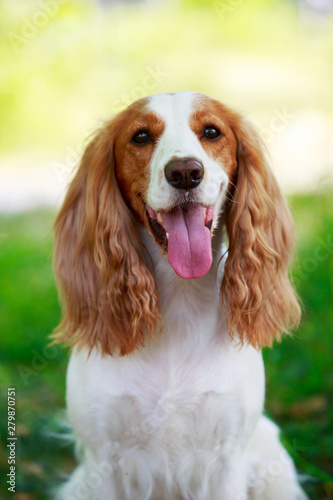 Photo Dog breed Russian hunting spaniel
