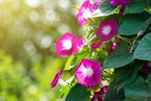 Morning Glory Flowers In The Sunny Garden