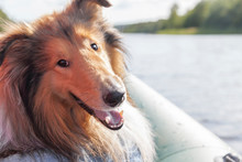 Cute Beautiful Smart Rough Collie Dog Is Happy, Enjoying And Smiling That Owners Took It To Boat Trip On Lake In Scandinavia On Sunny Summer Day