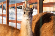 Young Lama On The Farm In The Winter
