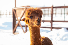 Brown Alpaca Looking Straight Ahead - Portrait Of A Brown Alpaca On Snow Background. Selective Focus On The Alpaca's Face