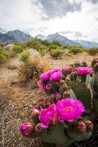 Canvas Print pink cactus flowers blooming on cactus plant in desert