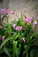 Pante De Lys Rose Au Jardin En été