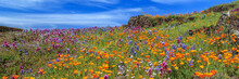 Poppies And More Panorama On North Table Mountain