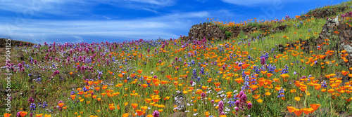 Poster Fleuriste Poppies And More Panorama On North Table Mountain