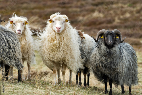 Skudden sheeps on a meadow