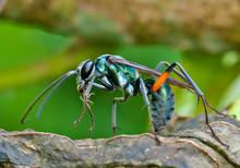 Closeup Of A Beautiful Blue Tarantula Hawk Spider Wasp Feeding On Persimmon Fruit Pulp In Fall