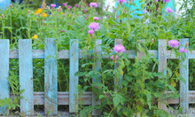 Inflorescence Of Pink Flowers On The Background Of The Old Blue Picket Fence