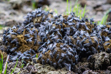 Flies On Horse Manure