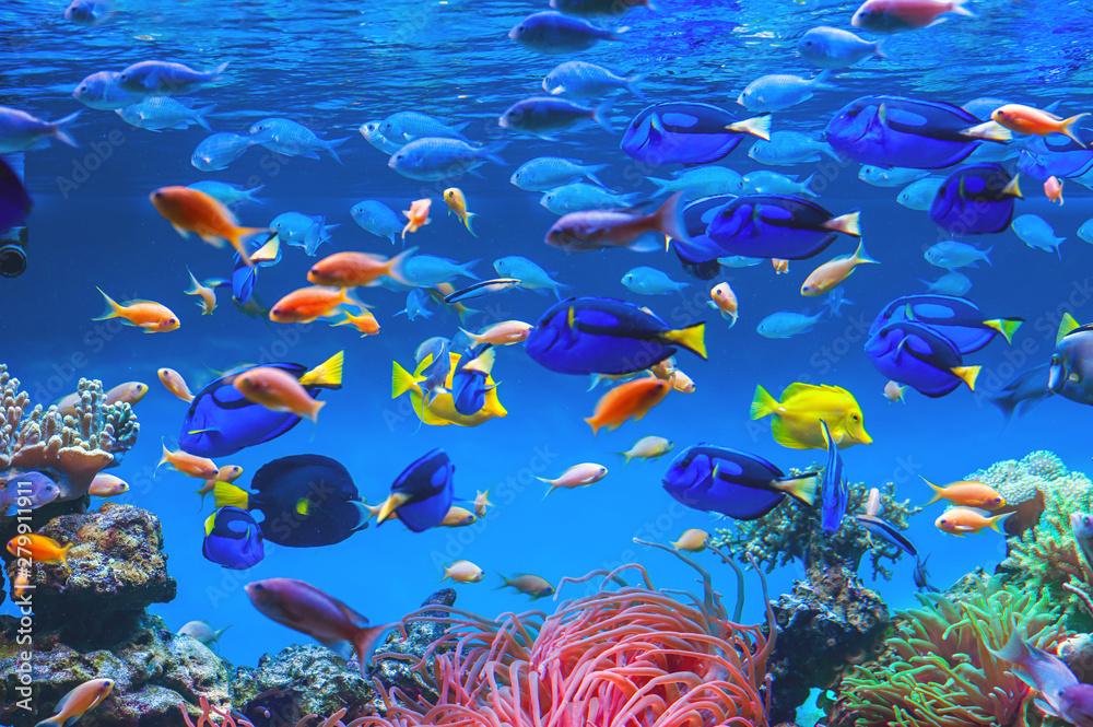 Fototapeta Colorful schools of tropical fish. Underwater coral reef background