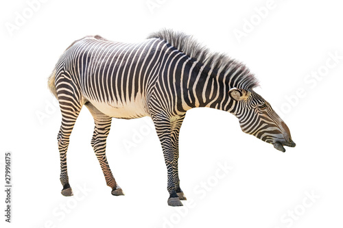 Grevys Zebra Facing Side Extracted - 279916175