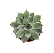 Succulent plant in flowerpot isolated on white, top view. Home decor