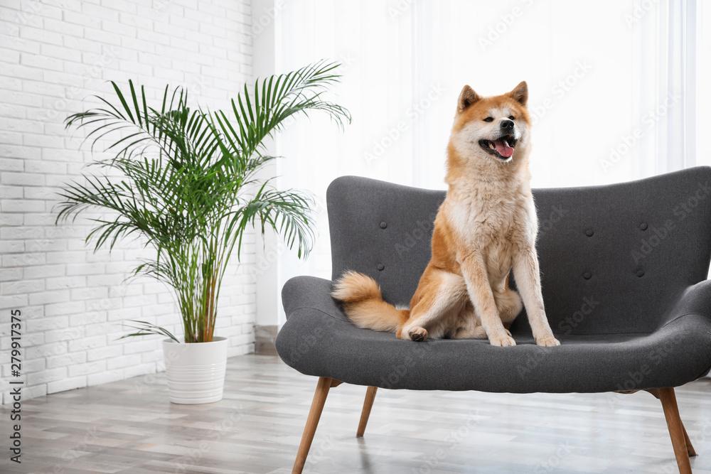 Fototapety, obrazy: Cute Akita Inu dog on sofa in living room