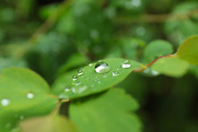 Green Plant With Wet Foliage Outdoors On Rainy Day, Closeup