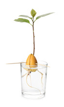 Glass With Sprouted Avocado On...