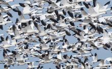 Flock Of Geese Flying In Air