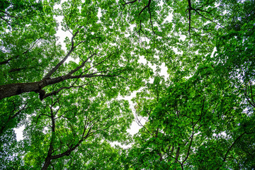 Looking up at beautiful green canopies of trees in a forest