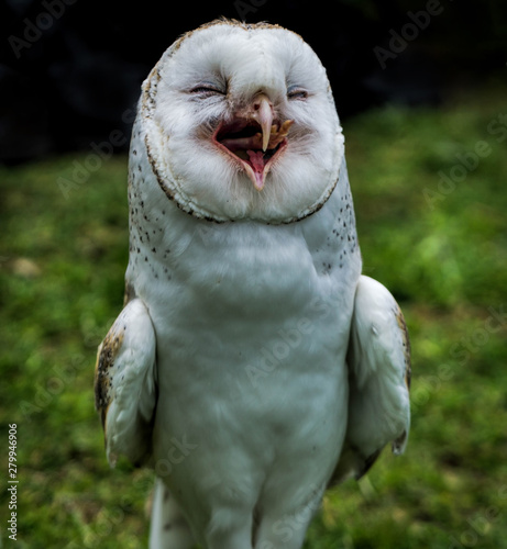 Valokuva A Australian barn owl standing up and open beak appears to be laughing