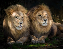 Two Lion Friends Sitting Closely Together Watching Something In The Distance.