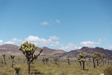 Joshua Trees In The Desert With Mountains In The Background In California National Park