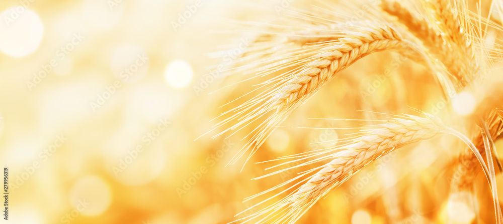 Fototapety, obrazy: Beautiful wheat field in the sunset light. Golden ears during harvest, macro, banner format. Autumn agriculture landscape.