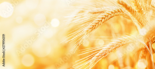 Fototapeta Beautiful wheat field in the sunset light. Golden ears during harvest, macro, banner format. Autumn agriculture landscape. obraz