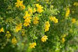 Yellow blooms of Teline osmariensis