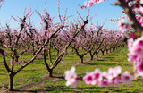 Blooming  peach  trees in the fields over blue sky in spring