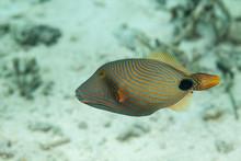 Orange-Lined Triggerfish, Oran...