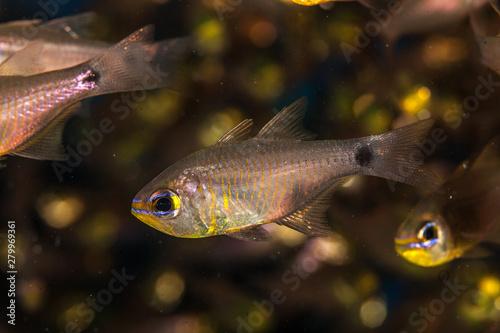 Fotobehang Capricorn cardinalfish, Ostorhinchus capricornis