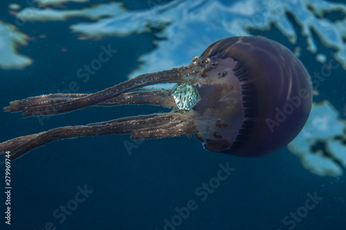 Photo jellyfish with a juvenile jackfish