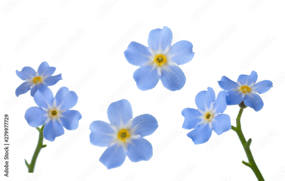 Fototapeta Forget-me-nots isolated on white background.